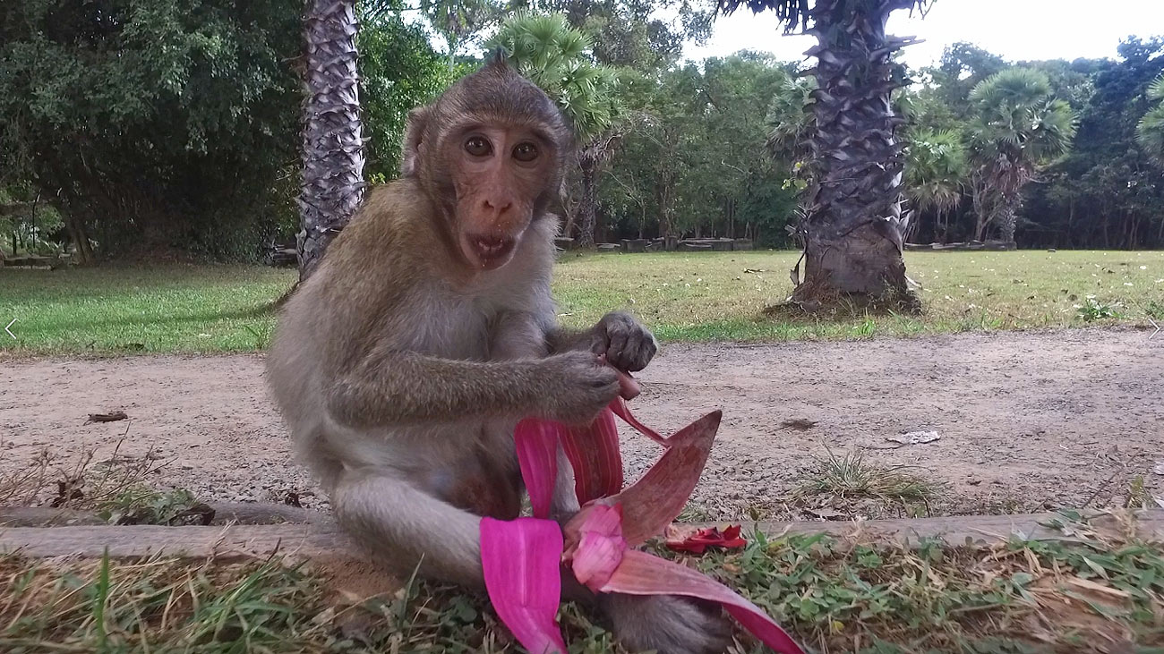 footage of a macaque monkey at Angkor Wat